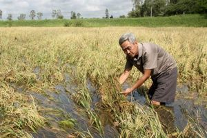 Nhiều diện tích mía, lúa tại Hậu Giang bị thiệt hại nặng nề do lũ lớn và triều cường