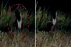 Clip: Sinh vật bí ẩn nghi 'bóng ma một chân' huyền thoại lọt vào camera hành trình
