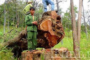 Khai thác gỗ tại Vườn Quốc gia Yor Đôn chuẩn bị xét xử 15 đối tượng