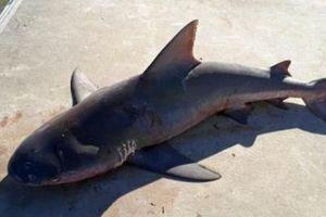 Cá mập 'dở hơi' tự nhiên nhảy lên thuyền của người đi câu