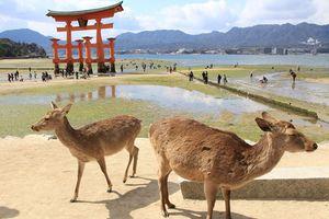 Kỳ lạ vùng đất tôn thờ loài hươu như thần thánh ở Nhật Bản