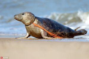 Lưới nhựa thít cổ, hải cẩu báo đau đớn cầu cứu