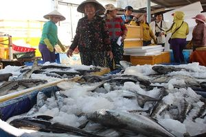 Quảng Ngãi: Cá bớp nuôi chết không phải do ô nhiễm môi trường