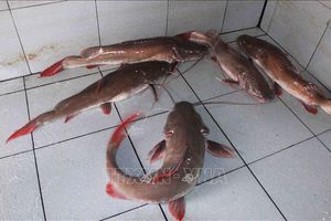 Xây dựng thương hiệu cá lăng đuôi đỏ sông Sêrêpốk