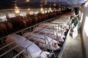 Hà Nội chủ động ngăn chặn dịch tả lợn châu Phi từ xa