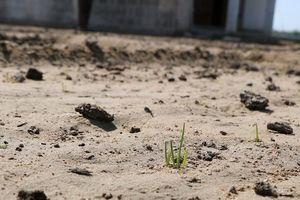 Ninh Thuận: Những phận người khốn khổ vì đất nhiễm mặn