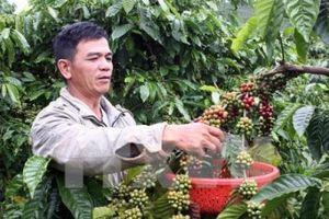 Giá cà phê nhân tăng trở lại
