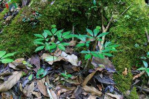 Lợi ích kép từ việc trồng sâm Ngọc Linh dưới tán rừng ở Kon Tum