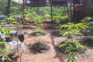Phát hiện cây cần sa được trồng ở vườn nhà