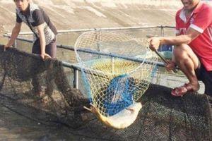 Nuôi cá dày đặc trong lồng nhựa năng suất 20 kg/m3, 4 tháng thu 1 tỷ