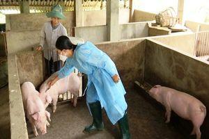 Xuất hiện bệnh lở mồm long móng lợn ở Lào Cai