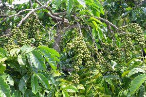 Đạm xanh Cà Mau khẳng định năng suất trên cây cà phê