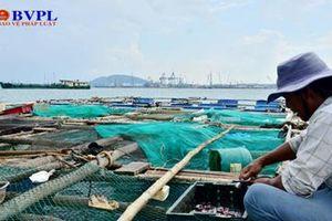 Vì sao cá nuôi lồng bè ở Bình Sơn chết hàng loạt ?