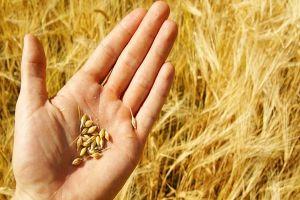 Cấm nhập lúa mì lẫn hạt cỏ: Cục ban hành sai thẩm quyền