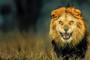 Những loài sư tử ăn thịt người nổi tiếng thế giới