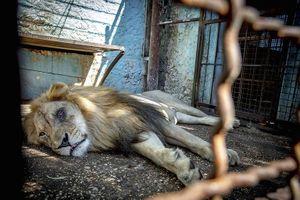 'Sở thú địa ngục': Sư tử nằm chờ chết, sói ốm yếu bị bỏ đói