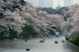 Hoa anh đào Nhật Bản bất ngờ nở vào mùa thu