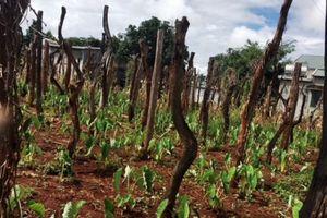 Điêu đứng hồ tiêu Tây Nguyên (Kỳ cuối): Giải pháp nào 'cứu' nông dân trồng tiêu?