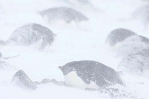 Nghĩa địa xác ướp hàng trăm con chim cánh cụt tại Nam Cực vì biến đổi khí hậu
