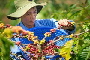 L'amant Café, mang cà phê hữu cơ Việt ra thị trường thế giới