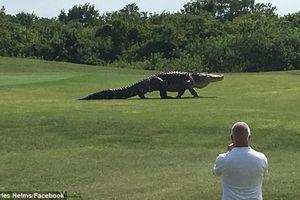 Kinh hãi cá sấu khổng lồ dài gần 5 mét xuất hiện giữa sân golf