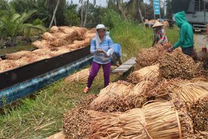 ĐBSCL: Cọng lục bình khô tăng giá mạnh