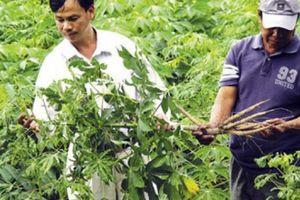 Thuốc BVTV cũng 'bó tay', khẩn cấp tìm giống mới ngăn khảm lá sắn