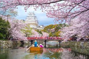 Hoa anh đào Nhật Bản nở bất thường vào mùa thu