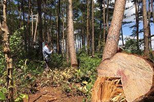 Hàng chục cây thông cổ thụ bị đốn hạ trước trạm kiểm lâm