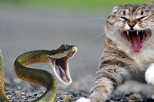 Màn 'đại chiến' giữa chó, mèo và con rắn độc