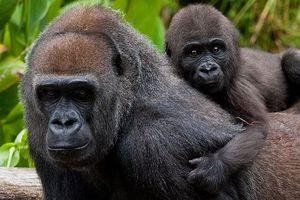 Những thông tin về loài động vật có bộ gen giống người đến hơn 98%