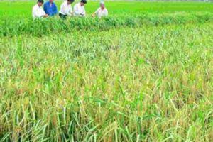 Hạt gạo đã mang trên mình nhiều gánh nặng