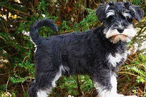 Chó sục Đức, giống chó đặc biệt trung thành