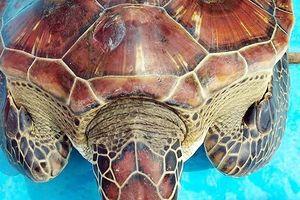 Bắt được rùa quý hiếm, ngư dân Nghệ An tặng người khác chăm nuôi chờ ngày thả về biển