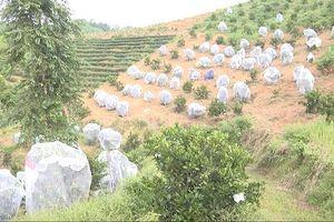Vườn cam hàng chục nghìn mét vuông được 'mắc màn' chống sâu bọ