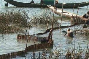 TT-Huế: Trúng đậm cá dìa đặc sản phá Tam Giang, bắt 1,5 tấn/ngày