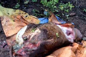 Nhốt bò ở rẫy, chủ đau đớn phát hiện bị trộm cắt mất 4 chân