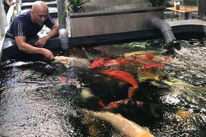 Đại gia phố núi chơi trội, chi hơn 2 tỷ đồng để mua cá koi về ngắm