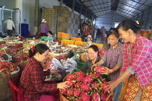 Trà Vinh: Thanh long ruột đỏ tăng giá trở lại