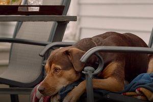 Câu chuyện cảm động của nàng cún Bella trong 'A Dog's Way Home'