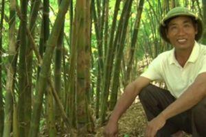 Mỗi tháng thu hơn 10 triệu nhờ trồng 'rừng' tre dại bán măng