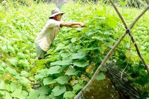 Kiên Giang: Mùa nước nổi trồng dưa leo, mướp hương 'hốt bạc'