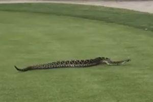 Rắn độc khổng lồ náo loạn sân golf gây 'sốt' mạng