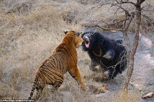 Gấu mẹ một mình đánh đuổi hai hổ dữ để bảo vệ đàn con