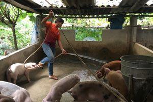 Dịch tả lợn châu Phi đã đến ngay sát nách Việt Nam