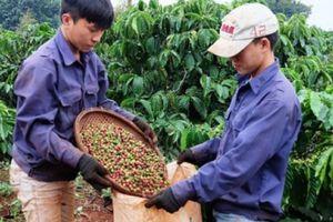 Giá nông sản hôm nay 23/10: Giá cà phê giảm tiếp 400 đồng/kg, giá tiêu không nhúc nhích