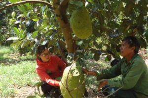 Bí quyết trồng mít Thái trái 'to vật' lãi hơn nửa tỷ đồng