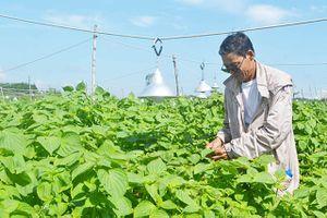 Bắt tía tô 'trẻ mãi không già', 1 ngày hái 1 tấn lá bán cho Hàn Quốc