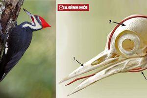 Ai cũng giật mình khi biết loài chim này có lưỡi dài đến nỗi bọc quanh não