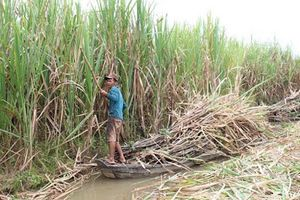 Nhiều địa phương khu vực Đồng bằng sông Cửu Long giảm diện tích mía